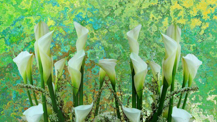 Kalie ogrodowe  – uprawa, kiedy sadzić, kwiaty, symbolika
