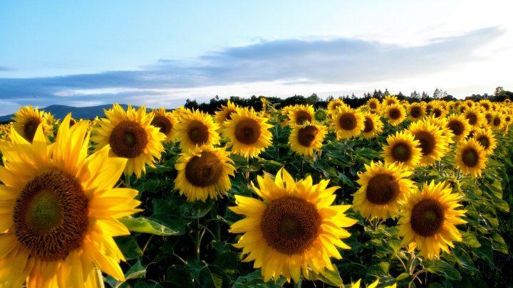 Żółte kwiaty ogrodowe – najpopularniejsze gatunki kwiatów