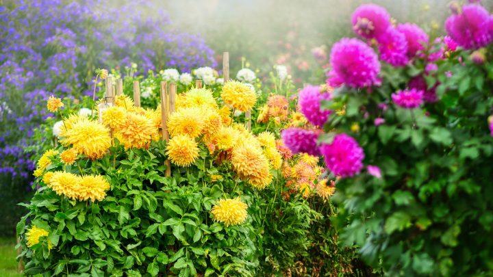 Dalie ogrodowe – uprawa, kiedy sadzić, kwiaty, symbolika