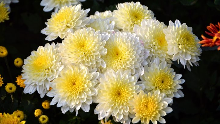 Wszystkich Świętych, Dzień Zmarłych, wypominki – zwyczaje i symbolika kwiatów