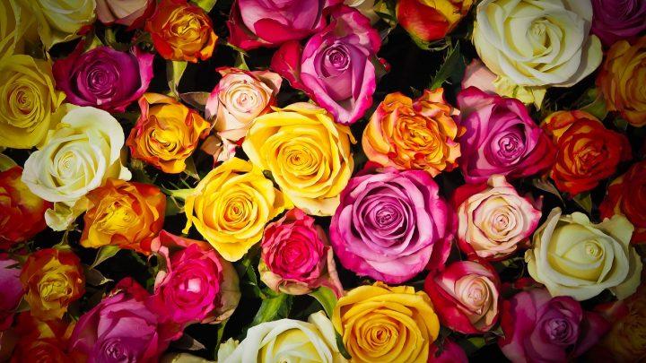 Znaczenie koloru róży