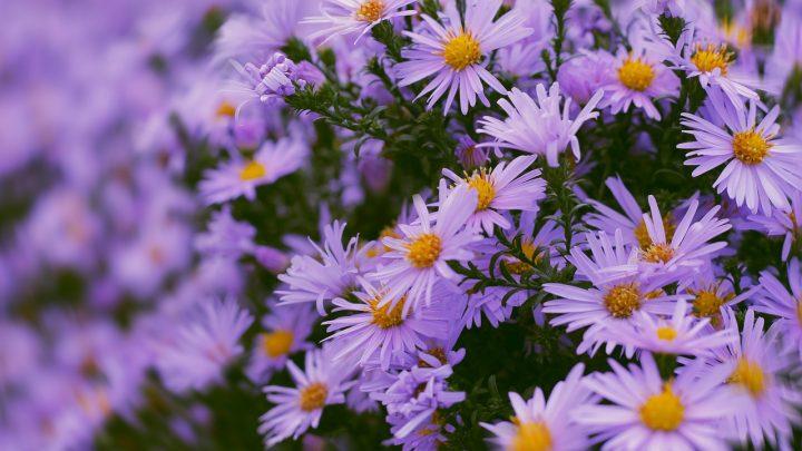 Jakie kwiaty jednoroczne do ogrodu wybrać? Przegląd najpiękniejszych gatunków