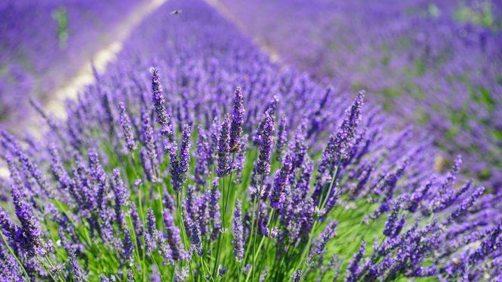 Lawendy w ogrodzie   – uprawa, kiedy sadzić, kwiaty, symbolika