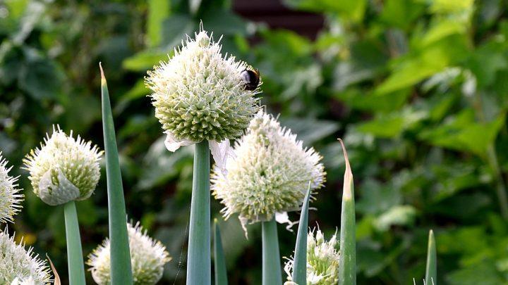 Kwiat cebulowy – ozdoba Twojego ogrodu